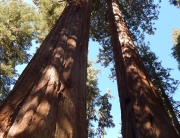 Gazing up at the sequoias in Giant Forest, Sequoia National Park