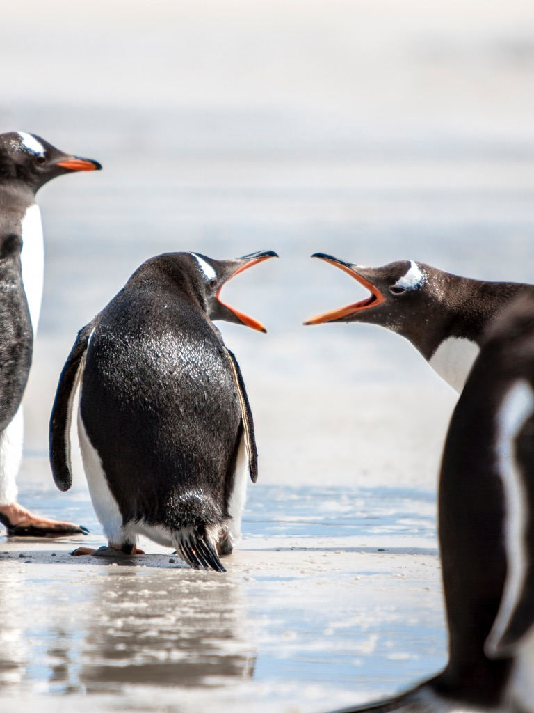 penguins-under-discussion-at-falkland-islands2-picture-id501444839-2
